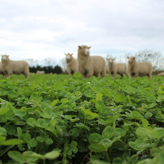 Crossbred Lambs