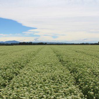 Hybrid Carrot Seed Crop
