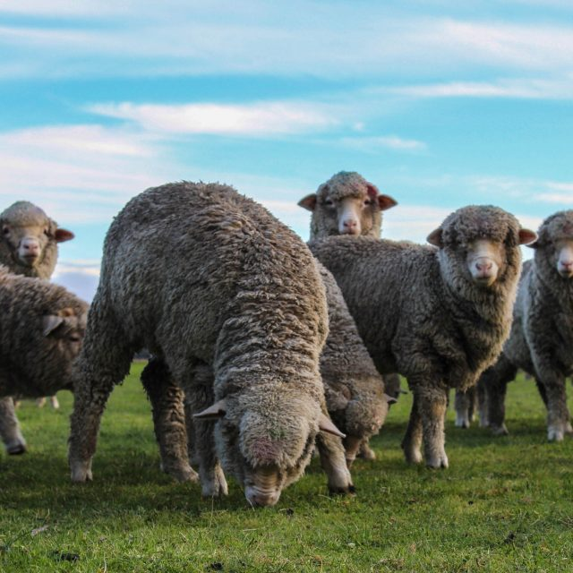Merino Sheep Grazing grass