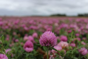 Red Clover Crop at Scottville Farm