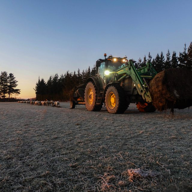 Feeding out baleage to Sheep in the cold winter months