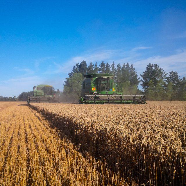 Harvesting Duchess Wheat