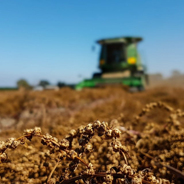 9550 Harvesting Swiss Chard seed crop
