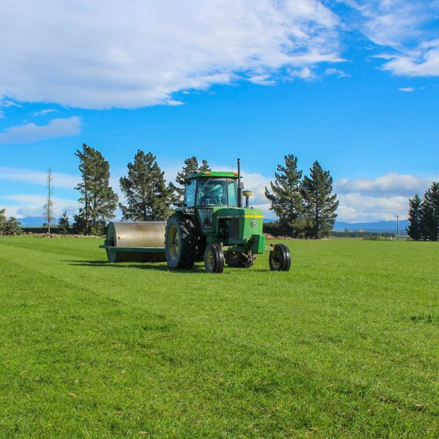 Grass and Clover paddocks are heavy rolled every year to prevent stones from going through the combine and into the seed.