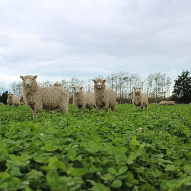 Grazing on a lush Clover Cover Crop