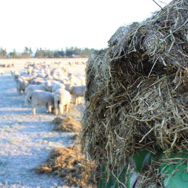 Feeding Lucerne Baleage to Merino sheep