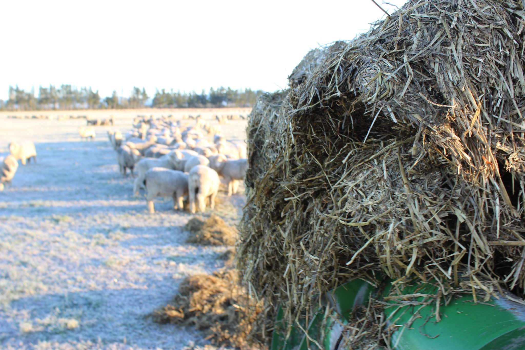 Feeding Lucerne Baleage to Merino sheep