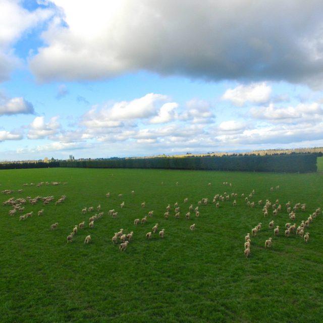 Lamb fattening on lush pasture