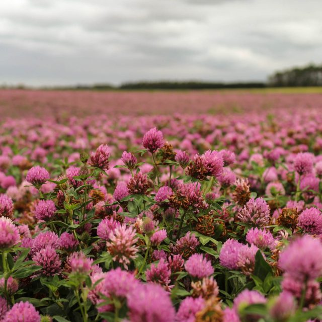 Flourishing Crop of Red Clover at Scottville Farm