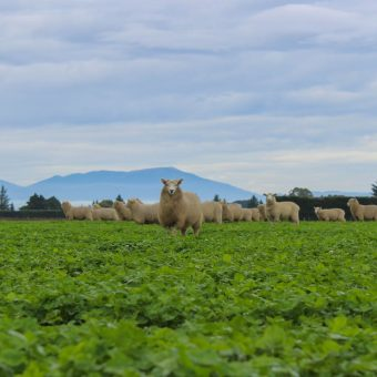 Corriedale Sheep in the fresh pastures of New Zealand