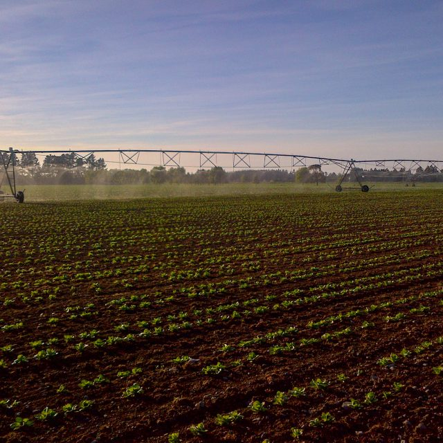 Irrigating radish