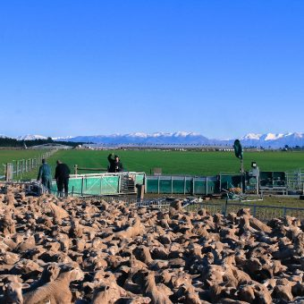 Weighing Crossbred sheep at Scottville Farm, fresh snow on the mountains in the background.